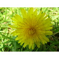 Dandelion Flower Yellow Macro jdahi64