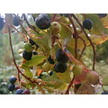 Madeira island Portugal nature wild fruits 2006 black uveira