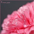 pink flower carnation petal flower drop folds