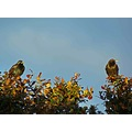 starling starlings bird trees wildlife sunshine