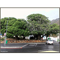 milkwoodtrees gordonsbay south africa