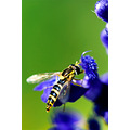 insect bug nature hoverfly flower green violet closeup macro