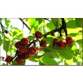 cherry cherrys cherries cherrytree spring june red France
