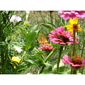 Beautiful butterfly beautiful flowers - God's special creations - gifts to a human kind.