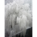 snow weeping willow