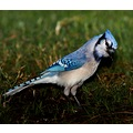 mkass blue bird bluejay