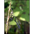 drgonfly insect green nature