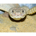 aruba island rattle snake reptile animal nature wildlife