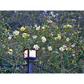 roses morcom oakland rgardenfphmay09 amphitheater yellow lights