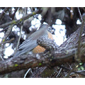 """American Robin that very clearly seemed to be saying """"I don't LIKE you"""""""