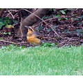 Varied Thrush - normally a woodland species, finding this one in town so close to the ocean made ...