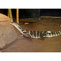 Reptile Animal Lizard Nature