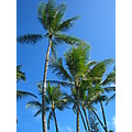 coconut tree in Hawaii