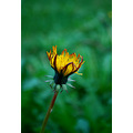nature autumn forest Taraxacum officinale