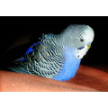 budgerigar budgie bird birds australian native