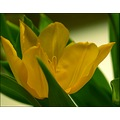 flowers spring yellow tulip
