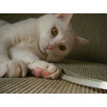 cat whitecat kitty Kuppy Japan Niigata