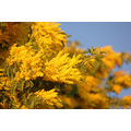 mimosa spring yellow flower