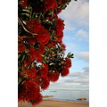 pohutukawa nz christmas tree christmasfriday