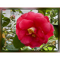 Camellia Plant Bush Shrub Flower AlohaOR Aloha Oregon