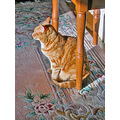 josefina orange cat orangecat milibuhscatclub shadows shadow joeyfph rug