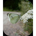 butterfly insect animal nature summer sunny day finland