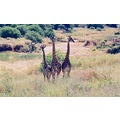 Giraffe Family, Kenyan Safari, 2001
