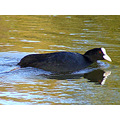 common coot water nature