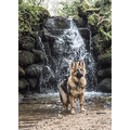 dog german shepherd gsd Blitz nation picture jaroslavas cute nature animals pets