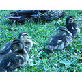 Nature Gillards Macro Ducks Sitting Grass Fur Furry Beaks Ducklings