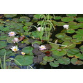 frogs pond liliies