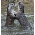 Peak District Derbyshire Otters