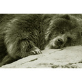 The sleepy one. . . Kodiak bear