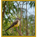 birds nature westernkingbird