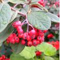 toyon berry berries red naturefph red