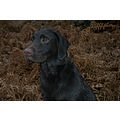 gun dog working labrador chocolate lab