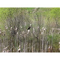 redwinged blackbird marsh
