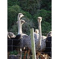 birds Ostriches New Zealand littleollie
