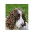 dog spaniel pet companion