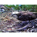 Osprey Loch of the Lowes Mother Chicks
