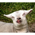 netherlands vogelenzang animal sheep lamb nethx vogex animx sheex
