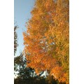 tree leaves sky nature fall yellow orange