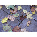 leaves autumn leaf fall brown browns yellow yellows pavement season seasons