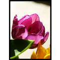 nature flower tulip pink yellow green closeup transparencies