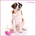 pink shoes holly dog saint bernard
