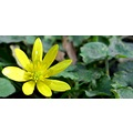 wildlife flowers lesser celandine