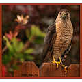 birds nature sharpshinnedhawk