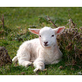 lamb northam burrows animal