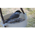 Marsh tit bird feeder
