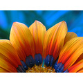 flower orange blue gazania